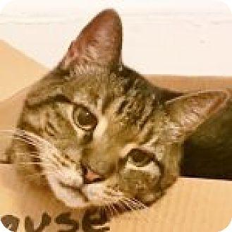 Domestic Shorthair Cat for adoption in Medford, Massachusetts - Rolls Royce