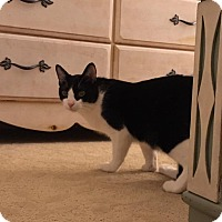 Domestic Shorthair Cat for adoption in Fredericksburg, Virginia - Tweety