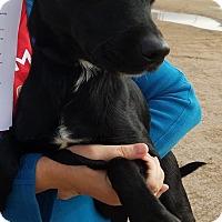 Adopt A Pet :: Cole - Las Vegas, NV