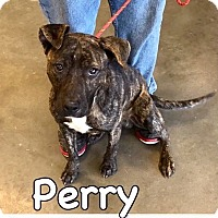 Adopt A Pet :: Perry-URGENT - Plainfield, CT