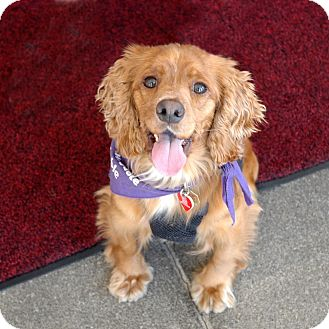 Cocker Spaniel Dog for adoption in Sacramento, California - Strawberry