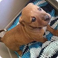 Adopt A Pet :: Artemis - Austin, AR