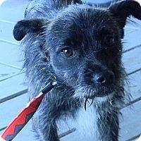 Adopt A Pet :: trixie - cameron, MO