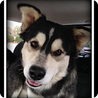 Adopt A Pet :: Trace - Indian Trail, NC