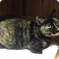 Domestic Shorthair Cat for adoption in Crescent, Oklahoma - Abby