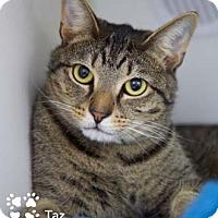 Adopt A Pet :: Taz - Merrifield, VA
