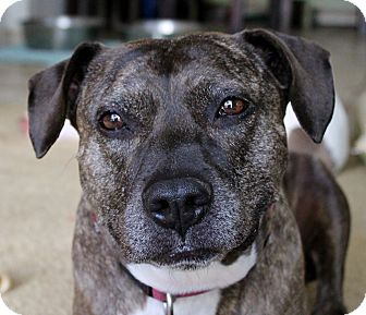 Pit Bull Terrier Mix Dog for adoption in Inglewood, California - Trixie