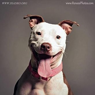 American Pit Bull Terrier Mix Dog for adoption in Blacklick, Ohio - Lollie