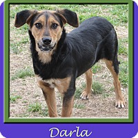 Adopt A Pet :: Darla - Hillsboro, TX