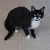 Domestic Shorthair Cat for adoption in Memphis, Tennessee - Coretta