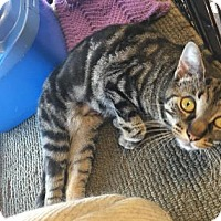 Domestic Shorthair Cat for adoption in Cheltenham, Pennsylvania - Truffle