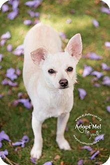 Chihuahua Mix Dog for adoption in Orange, California - Tigri