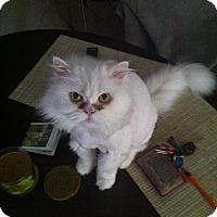 Adopt A Pet :: Vanilla - Courtesy Listing - Sparta, NJ