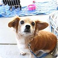Chihuahua/Pomeranian Mix Dog for adoption in Los Banos, California - Hazel