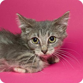 Domestic Shorthair Kitten for adoption in Jersey City, New Jersey - Lana