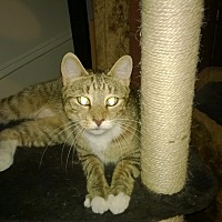 Domestic Shorthair Cat for adoption in Staten Island, New York - Dulce