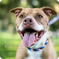 Pit Bull Terrier Mix Dog for adoption in Reisterstown, Maryland - Rebel