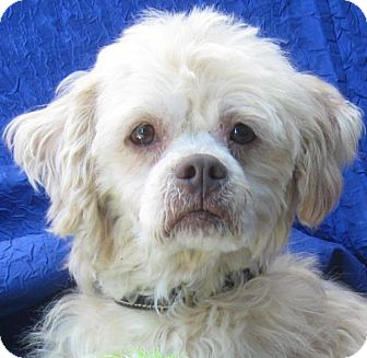 Clumber Spaniel/Bichon Frise Mix Dog for adoption in Cuba, New York - Chester Rizzo