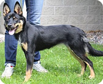 Border Collie/Australian Cattle Dog Mix Dog for adoption in Portage, Wisconsin - Syrah