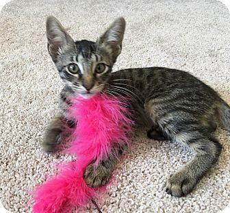 Domestic Shorthair Kitten for adoption in Arlington/Ft Worth, Texas - Ernest