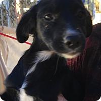Adopt A Pet :: Movado - Thousand Oaks, CA