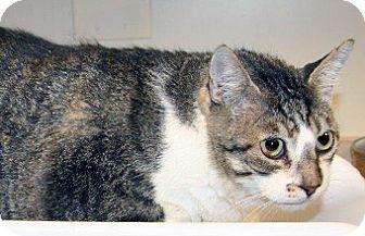 Domestic Shorthair Cat for adoption in Wildomar, California - Thunder