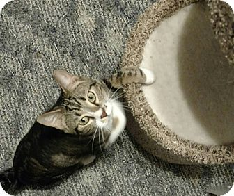 Domestic Shorthair Cat for adoption in Burlington, North Carolina - Happy