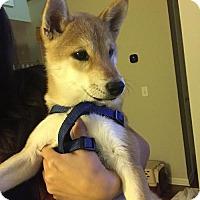 Shiba Inu Puppy for adoption in St. Louis Park, Minnesota - Suki