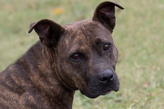Pit Bull Terrier Mix Dog for adoption in Broken Arrow, Oklahoma - Liberty