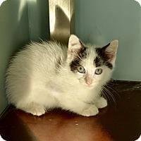 Adopt A Pet :: Liam - San Antonio, TX