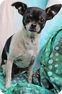 Chihuahua/Rat Terrier Mix Dog for adoption in Staunton, Virginia - Howie
