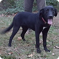 Labrador Retriever/Pointer Mix Puppy for adoption in Somonauk, Illinois - Nellie