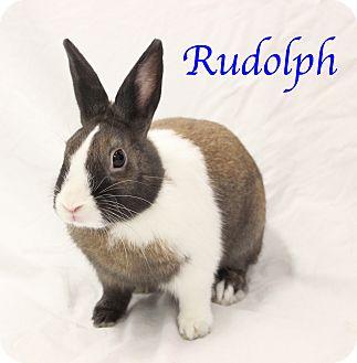 American Mix for adoption in Bradenton, Florida - Rudolph