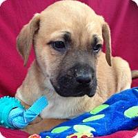 Adopt A Pet :: Cory - Boston, MA
