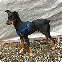 Adopt A Pet :: Levi - Auburn, WA