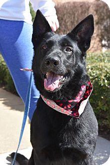 German Shepherd Dog/Labrador Retriever Mix Dog for adoption in Greensboro, North Carolina - Phillis