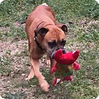 Adopt A Pet :: Shirley - Austin, TX