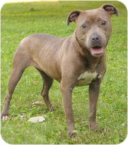 Pit Bull Terrier/American Staffordshire Terrier Mix Dog for adoption in Chicago, Illinois - Cookie
