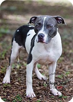 American Pit Bull Terrier Mix Dog for adoption in Orlando, Florida - Miles