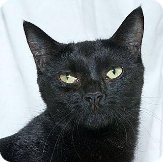 Domestic Shorthair Cat for adoption in Sacramento, California - Samantha L