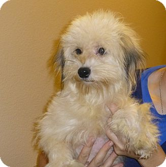 Yorkie yorkshire terrier poodle miniature mix dog for adoption in