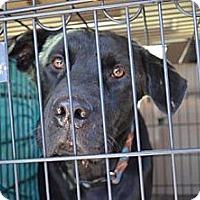 Adopt A Pet :: Shadow - Tunbridge, VT