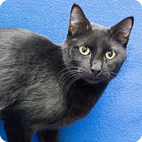 Domestic Shorthair Cat for adoption in Warren, Michigan - Pepper