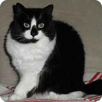 Domestic Longhair Cat for adoption in Verdun, Quebec - Rosa