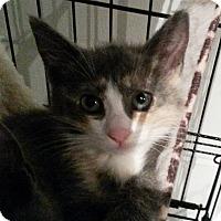 Adopt A Pet :: Calypso - Berkeley Hts, NJ
