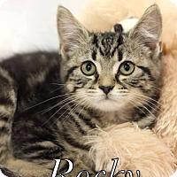 Adopt A Pet :: Rocky $85 male (Kitten) - knoxville, TN