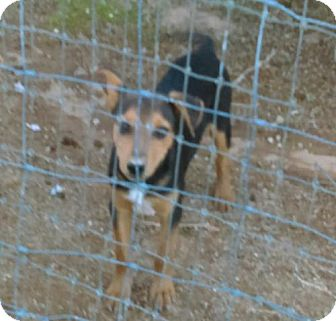 Beagle/Chihuahua Mix Puppy for adoption in Tonopah, Arizona - Mike