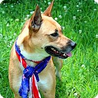 German Shepherd Dog/Labrador Retriever Mix Dog for adoption in Stamford, Connecticut - A - JACKIE-O