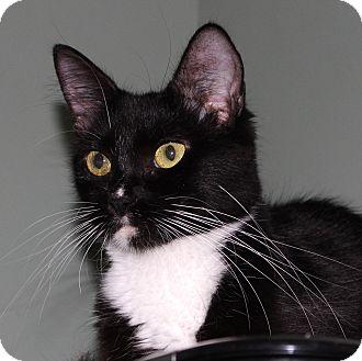 Domestic Mediumhair Kitten for adoption in Fairfax, Virginia - Mew