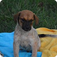 Adopt A Pet :: Benjamin-pending adoption - Manchester, CT